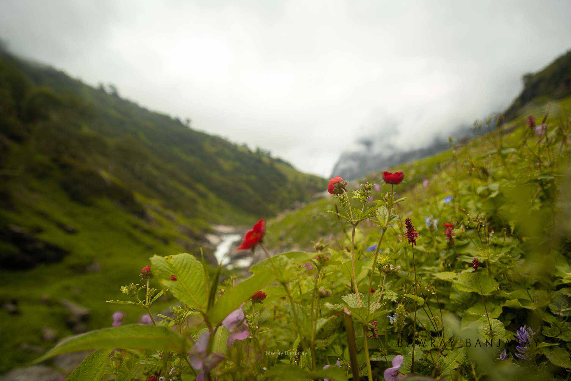 Flowers on Hampta Pass Trek